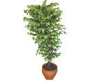 Ficus özel Starlight 1,75 cm   İzmir Konak İnternetten çiçek siparişi