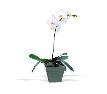 orkide saksi çiçegi  İzmir Konak çiçek gönderme sitemiz güvenlidir