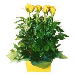 11 adet sari gül aranjmani  İzmir Konak çiçekçiler
