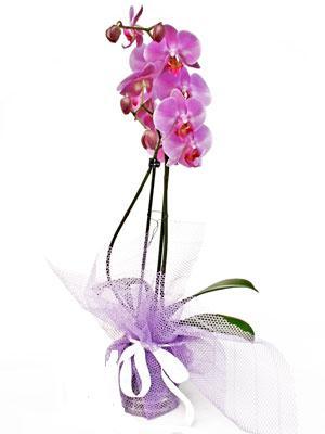 İzmir Konak çiçekçi telefonları  Kaliteli ithal saksida orkide