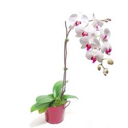 İzmir Konak cicekciler , cicek siparisi  Saksida orkide
