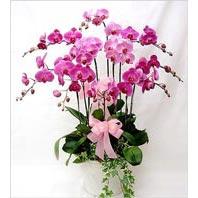 İzmir Konak çiçek gönderme sitemiz güvenlidir  3 adet saksi orkide  - ithal cins -