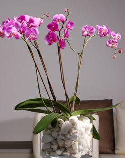 İzmir Konak çiçek mağazası , çiçekçi adresleri  2 dal orkide cam yada mika vazo içerisinde