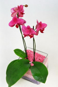 İzmir Konak çiçek servisi , çiçekçi adresleri  tek dal cam yada mika vazo içerisinde orkide