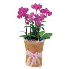 İzmir Konak online çiçekçi , çiçek siparişi  saksi iiçerisinde 3 dal orkide