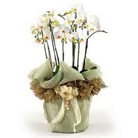 İzmir Konak çiçek mağazası , çiçekçi adresleri  3 dal orkide , saksi çiçegi , 3 kök orkide