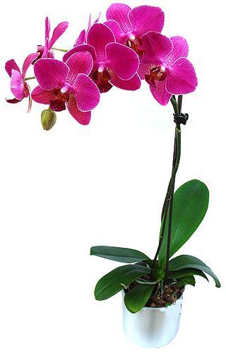 İzmir Konak çiçek servisi , çiçekçi adresleri  saksi orkide çiçegi