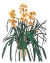 İzmir Konak güvenli kaliteli hızlı çiçek  Orchiede ithal büyük boy saksi