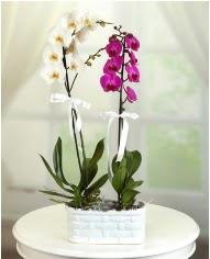 1 dal beyaz 1 dal mor yerli orkide saksıda  İzmir Konak ucuz çiçek gönder