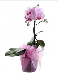 1 dal pembe orkide saksı çiçeği  İzmir Konak çiçekçi mağazası