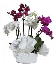 4 dal mor orkide 2 dal beyaz orkide  İzmir Konak çiçekçi telefonları
