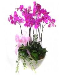9 dal orkide saksı çiçeği  İzmir Konak çiçek siparişi sitesi