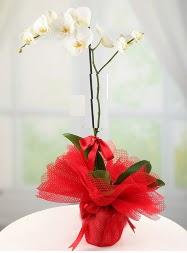 1 dal beyaz orkide saksı çiçeği  İzmir Konak internetten çiçek satışı