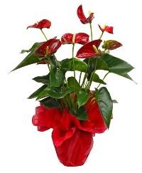 Görsel antoryum saksı çiçeği  İzmir Konak çiçek yolla , çiçek gönder , çiçekçi
