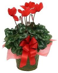Sılkamen saksı çiçeği  İzmir Konak internetten çiçek satışı