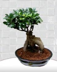 saksı çiçeği japon ağacı bonsai  İzmir Konak çiçekçi mağazası