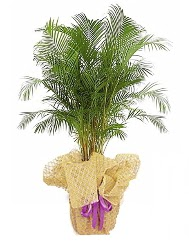 Areka saksı çiçeği  İzmir Konak ucuz çiçek gönder