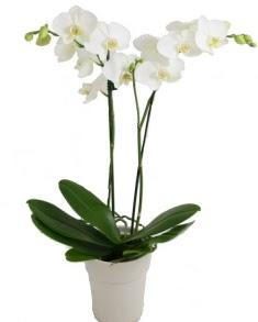 2 dallı beyaz orkide  İzmir Konak çiçek yolla