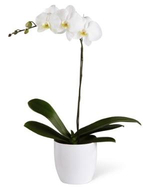 1 dallı beyaz orkide  İzmir Konak çiçek gönderme