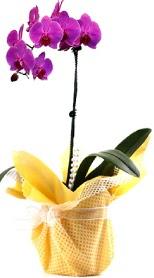 İzmir Konak çiçek mağazası , çiçekçi adresleri  Tek dal mor orkide saksı çiçeği