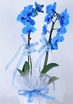 2 dallı mavi orkide  İzmir Konak kaliteli taze ve ucuz çiçekler