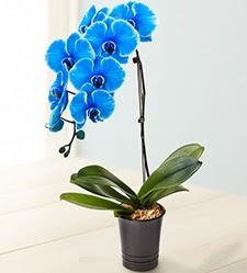 1 dallı süper eşsiz mavi orkide  İzmir Konak hediye çiçek yolla