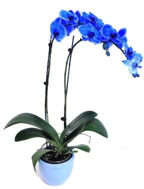 Seramikli 2 dallı süper eşsiz mavi orkide  İzmir Konak ucuz çiçek gönder