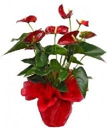 Antorium saksı çiçeği  İzmir Konak çiçek servisi , çiçekçi adresleri