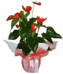 Antoryum saksı iç mekan süs bitkisi  İzmir Konak ucuz çiçek gönder