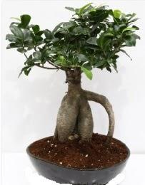 5 yaşında japon ağacı bonsai bitkisi  İzmir Konak kaliteli taze ve ucuz çiçekler