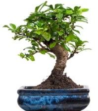 5 yaşında japon ağacı bonsai bitkisi  İzmir Konak 14 şubat sevgililer günü çiçek