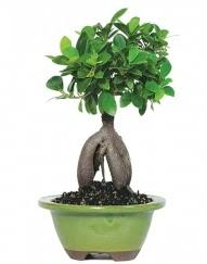 5 yaşında japon ağacı bonsai bitkisi  İzmir Konak İnternetten çiçek siparişi