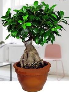 5 yaşında japon ağacı bonsai bitkisi  İzmir Konak çiçek yolla , çiçek gönder , çiçekçi