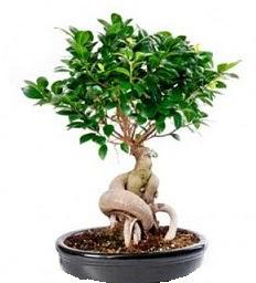 Bonsai Japon ağacı saksı bitkisi  İzmir Konak çiçek gönderme