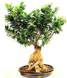 Bonsai Japon ağacı saksı bitkisi  İzmir Konak çiçek mağazası , çiçekçi adresleri