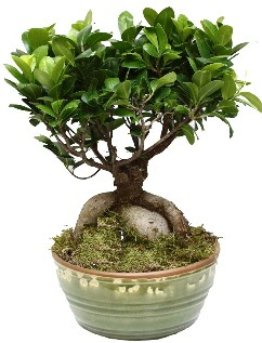 Japon ağacı bonsai saksı bitkisi  İzmir Konak çiçek siparişi vermek