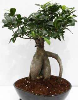 Japon ağacı bonsai saksı bitkisi  İzmir Konak cicek , cicekci