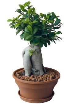 Japon ağacı bonsai saksı bitkisi  İzmir Konak cicekciler , cicek siparisi