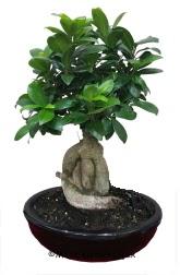 Japon ağacı bonsai saksı bitkisi  İzmir Konak hediye sevgilime hediye çiçek