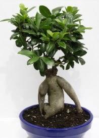 bonsai japon ağacı saksı çiçeği  İzmir Konak ucuz çiçek gönder