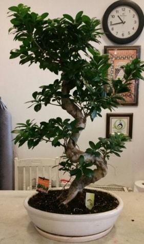100 cm yüksekliğinde dev bonsai japon ağacı  İzmir Konak çiçek siparişi vermek