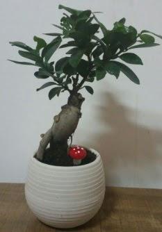 Bonsai japon ağacı saksı çiçeği  İzmir Konak online çiçek gönderme sipariş