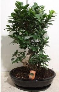 75 CM Ginseng bonsai Japon ağacı  İzmir Konak çiçek online çiçek siparişi