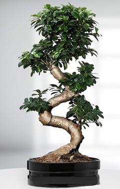 90 CM Japon Ağacı Bonsai saksı çiçeği  İzmir Konak çiçek siparişi sitesi