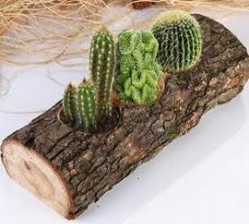 Doğal ağaç 4 adet kaktüs tanzimi  İzmir Konak uluslararası çiçek gönderme