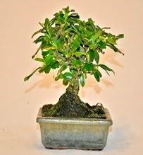 Zelco bonsai saksı bitkisi  İzmir Konak ucuz çiçek gönder