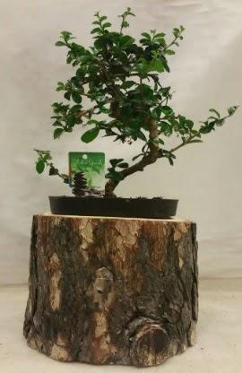 Doğal kütük içinde bonsai japon ağacı  İzmir Konak çiçek siparişi vermek