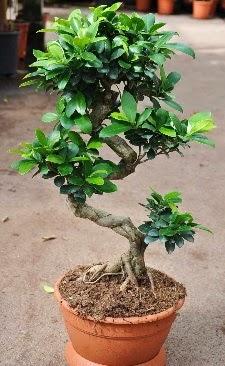 Orta boy bonsai saksı bitkisi  İzmir Konak yurtiçi ve yurtdışı çiçek siparişi