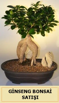 İthal Ginseng bonsai satışı japon ağacı  İzmir Konak çiçek mağazası , çiçekçi adresleri