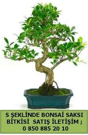 İthal S şeklinde dal eğriliği bonsai satışı  İzmir Konak cicekciler , cicek siparisi